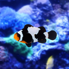amphiprion black snowflake