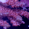 Frag acropora strowberry