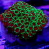 montipora incrustante ultra green frag